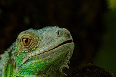 Portrait about a green iguana Stock Photos