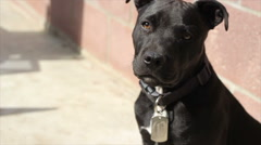 Black pitbull staying alert as guard dog Stock Footage
