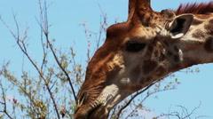 2420 Giraffe in the Wild in Africa, HD Stock Footage