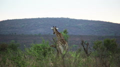 2422 Giraffe in the Wild in Africa, HD Stock Footage