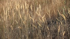 Feather grass swaying in the wind Stock Footage