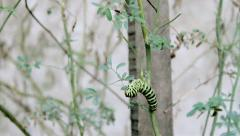 Papilio machaon TimeLapse-A Stock Footage