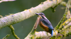 Kingfisher bird sitting on a branch Stock Footage