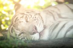 White tiger lying down and looking at camera Stock Photos