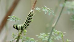 Papilio machaon TimeLapse-C1 Stock Footage