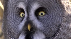GREAT GREY OWL #3 Stock Footage