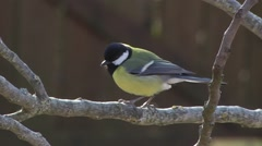 GREAT TIT Stock Footage