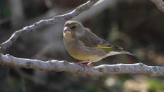 GREENFINCH Stock Footage