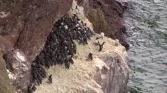 GUILLEMOTS Stock Footage