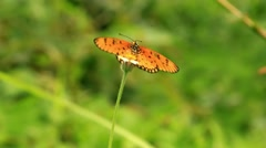 Orange butterfly feeds on nectar from a flower daisies. HD. 1920x1080 Stock Footage