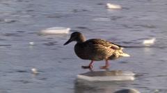MALLARD WALKING ON ICED LAKE Stock Footage