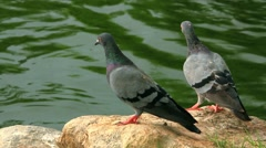 pair of pigeons cooing on the rocks near pond. HD. 1920x1080 - stock footage