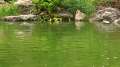 River Turtle swimming in pond at rainy time. HD. 1920x1080 Stock Footage