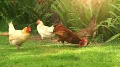 Free Range Cock and Hens. Sunlight. HD. 1920x1080 - stock footage