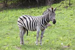 Young male zebra in open grassland of wildlife reserve Stock Photos