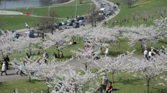 Tourists and citizens people enjoy Japanese cherry tree blooms Stock Footage