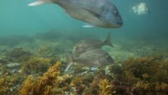 Curious snapper fish underwater Stock Footage