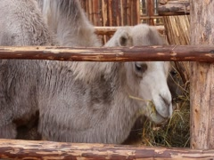 Camel eating hay Stock Footage