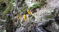 Yellow fungus at old tree root in mountain range Harz forest HD Footage