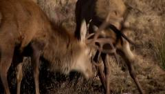 RED DEER STAGS FIGHT Stock Footage