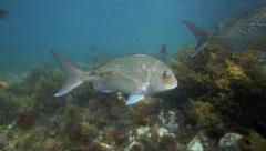 Curious snapper fish underwater at Goat Island Stock Footage