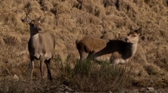 TWO RED DEER FEMALE Stock Footage