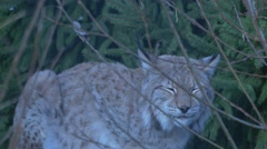 Lynx lurking among trees Stock Footage