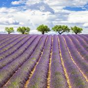 lavender square - stock photo