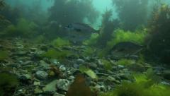 Blue moki (trumpeter) fish underwater at Taputeranga marine reserve Stock Footage