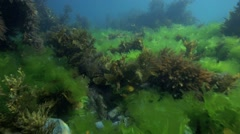 Sea lettuce and flapjack kelp underwater at Taputeranga marine reserve Stock Footage