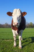 white and brown cow - stock photo