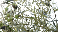 Olives hanging at tree Stock Footage