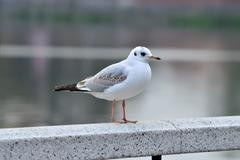 white seagull on a marble railing - stock photo