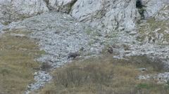 Competition among  males of Chamois. Stock Footage