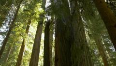 Redwoods in Jedediah Smith Redwoods State Park, California (tilt up) Stock Footage