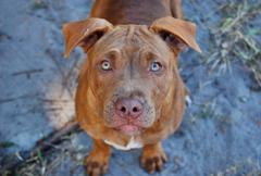 Pitbull Puppy - stock photo