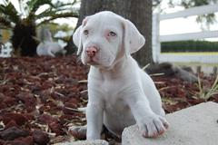 American Bulldog Puppy - stock photo