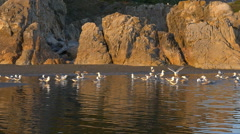 Western Seagull colony foraging at sunset (wide; slow motion) Stock Footage
