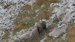 Male chamois looking suspicious. Stock Footage