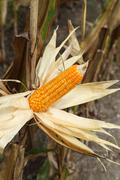 Corn on the stalk in the field Stock Photos