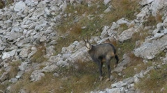 Male chamois ready to run. Stock Footage