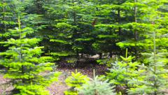 Christmas tree plantation in a forest Stock Footage