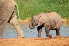 Baby elephant at waterhole Stock Photos