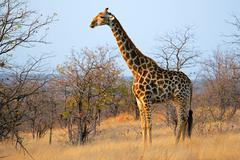 Giraffe in natural habitat Stock Photos