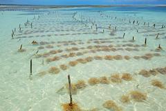 Seaweed farming - stock photo