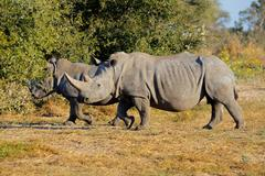 Two white (square-lipped) rhinoceros in natural habitat Stock Photos