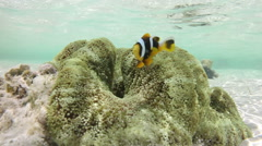Underwater view of a colorful clownfish and sea anemon, Zanzibar island Stock Footage