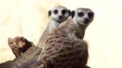 Meerkats looking alert Stock Footage