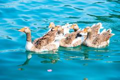 Beautiful waterfowl geese in pure water Stock Photos