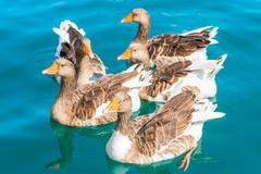 a flock of geese close up. geese swim in clean sea water - stock photo